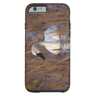 Whistling swan swimming in a pond, 1002 Coastal iPhone 6 Case