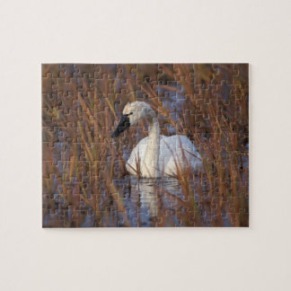 Whistling swan swimming in a pond, 1002 Coastal Jigsaw Puzzle