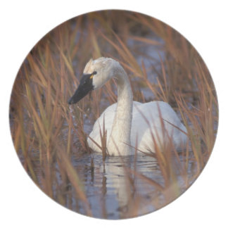 Whistling swan swimming in a pond, 1002 Coastal Melamine Plate