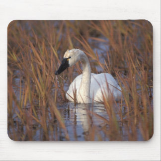 Whistling swan swimming in a pond, 1002 Coastal Mouse Pad