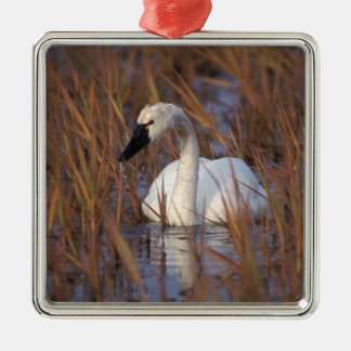 Whistling swan swimming in a pond, 1002 Coastal Square Metal Christmas Ornament