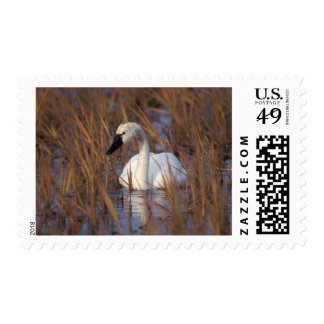 Whistling swan swimming in a pond, 1002 Coastal Postage