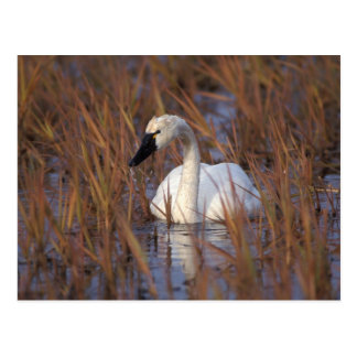 Whistling swan swimming in a pond, 1002 Coastal Postcard