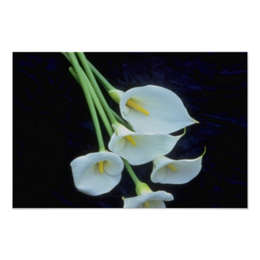 white A sheath of arum lilies flowers Posters