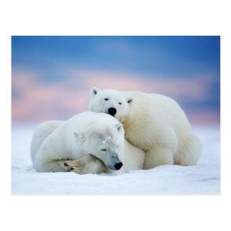 White Alaskan Polar Bear Couple Postcard
