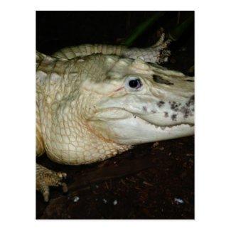 White Albino Alligator Photo , Gator Image Postcards