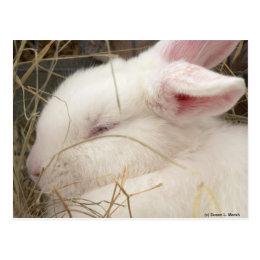 White albino netherland dwarf rabbit head postcard