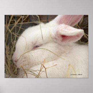 White albino netherland dwarf rabbit head poster