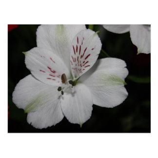 White Alstroemeria Post Card
