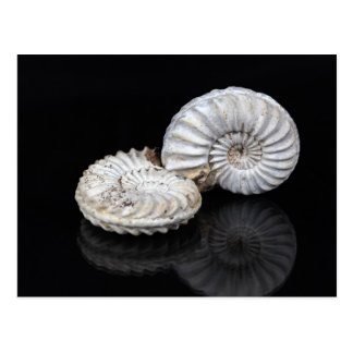 White Ammonites Postcard