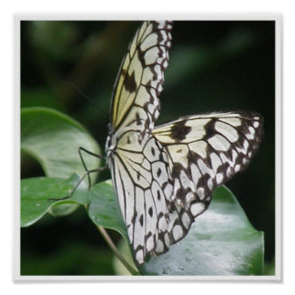 White and Black Butterfly Polinating Print