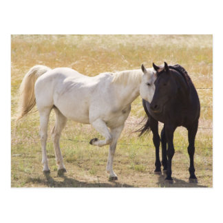 White And Black Horses: My One And Only Postcard