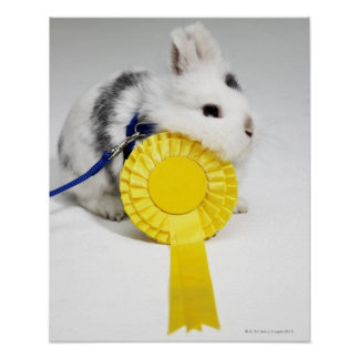 White and black rabbit on blue leash with yellow poster