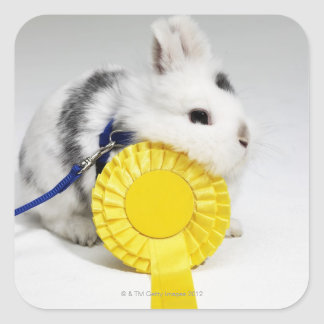 White and black rabbit on blue leash with yellow square sticker