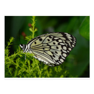 White and black wings butterfly postcard