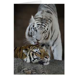 White And Brown Tigers Resting Greeting Card