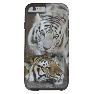 White And Brown Tigers Resting Tough iPhone 6 Case