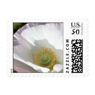 White and Pink Iceland Poppy Macro Postage