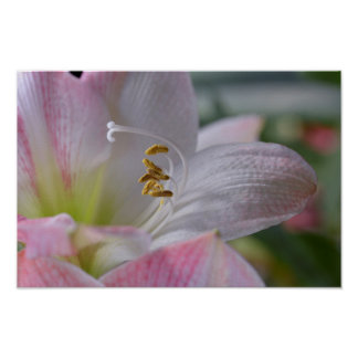 White and pink lilium flowers poster