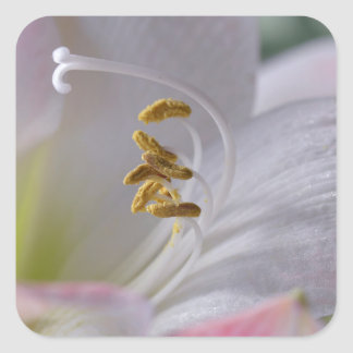 White and pink lilium flowers square sticker