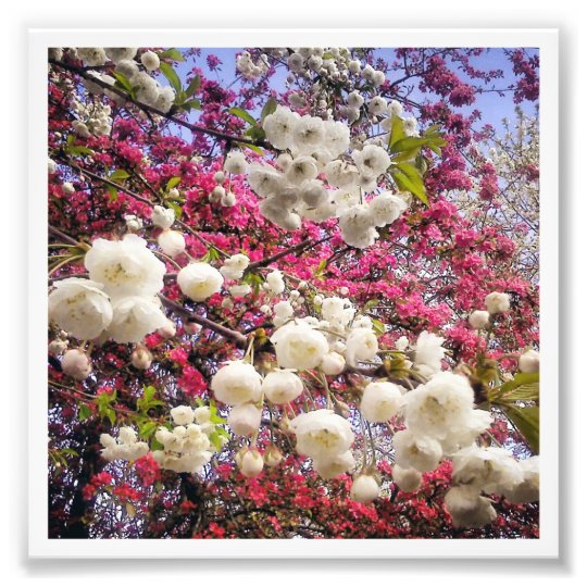 White and pink spring blossom in Wales Photo Print