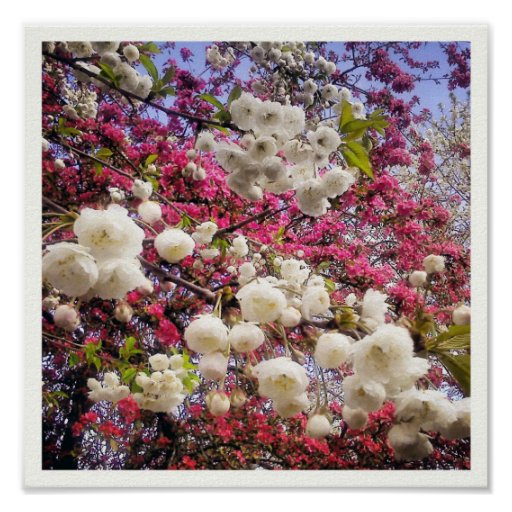 White and pink spring blossom in Wales Poster