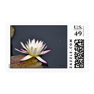 White and pink water lily. postage