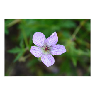 White and Pink Wildflower in the Sandia Mountains Photograph