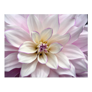 White and purple dahlia flower postcard