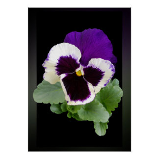white and purple pansy poster