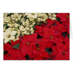 White and Red Poinsettias I Holiday Floral Card
