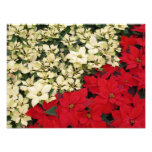 White and Red Poinsettias I Holiday Floral Photo Print