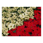 White and Red Poinsettias I Holiday Floral Poster