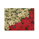 White and Red Poinsettias I Holiday Floral Wood Poster