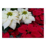 White and Red Poinsettias II Christmas Holiday Card