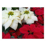 White and Red Poinsettias II Christmas Holiday Photo Print