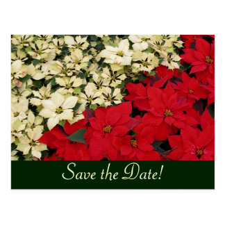 White and Red Poinsettias Save the Date Postcard