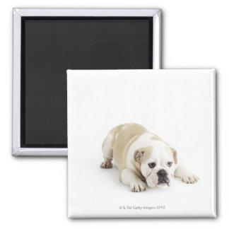 White and tan bulldog magnet