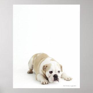 White and tan bulldog print