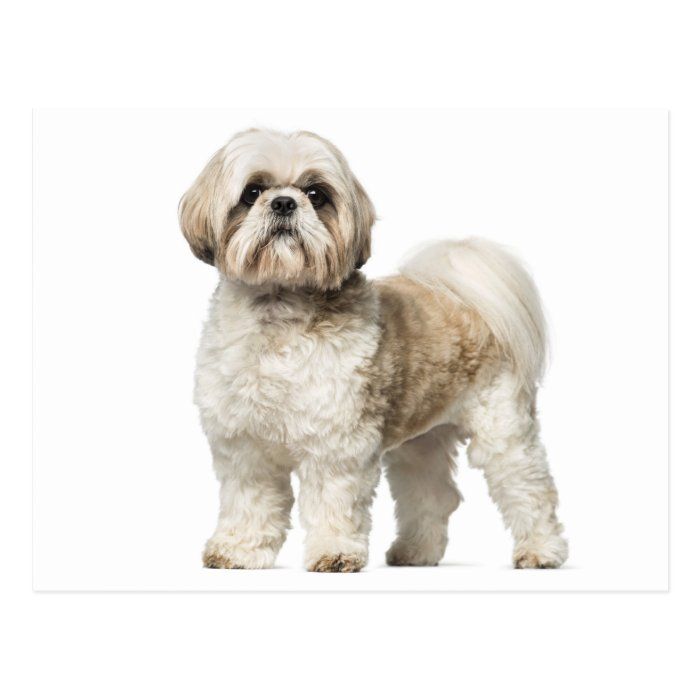 White And Tan Shih Tzu Puppy Dog Postcard | Zazzle