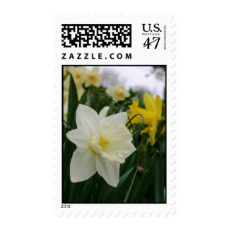 White and yellow daffodil flower blossoms postage