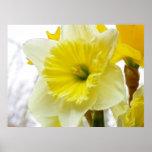 White And Yellow Daffodil Print