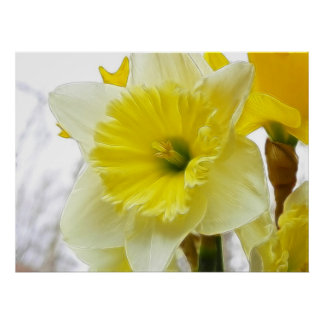White And Yellow Daffodil Print
