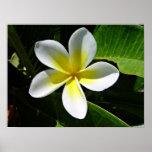 White and Yellow Frangipani blossom Poster
