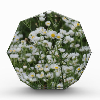 White and Yellow Mini little Daisy Aster flowers Awards