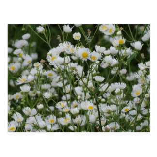 White and Yellow Mini little Daisy Aster flowers Postcard