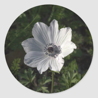 White Anemone coronaria from the Galilee ( Round Stickers