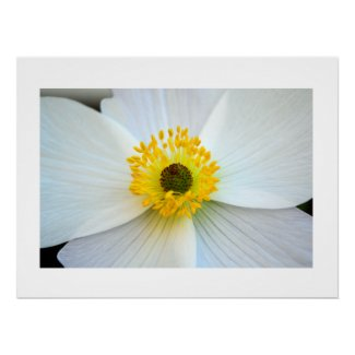 White Anemone Floral Macro Photo Glossy Poster