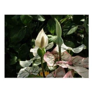 White Antherium Caladium Tropical Flowers Postcard