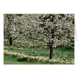 white Apple and daffodil blossoms, Rockliffe Park, Card
